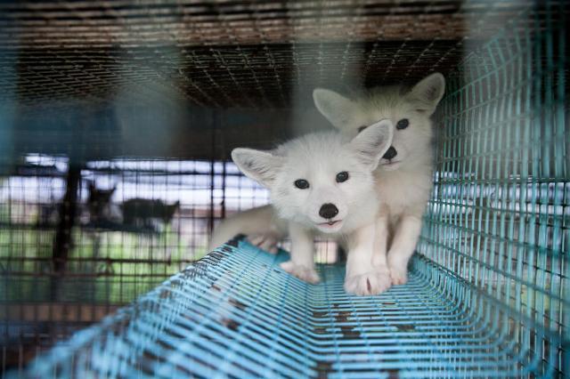 Kimi, ein finnischer Polarfuchs-Welpe, ist das Gesicht der Anti-Pelz-Kampagne von VIER PFOTEN.
