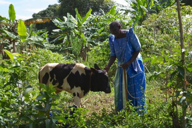 Eine Bäuerin mit einem Kalb, das noch in unmittelbarer Nähe zur Mutterkuh lebt.