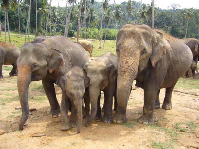 141 Pinnewala Elephant-Waisenhaus (Large)