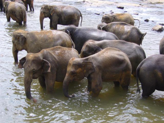 168 Pinnewala Elephant-Waisenhaus Baden im Fluss (Large)