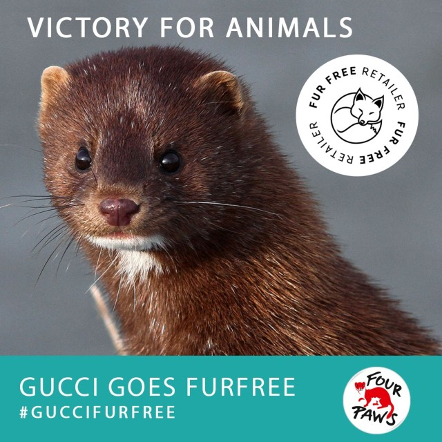 Gucci goes furfree (Large)